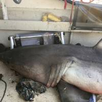 Aussie fisherman, 73, needs a bigger boat after great white shark leaps aboard, knocks him down