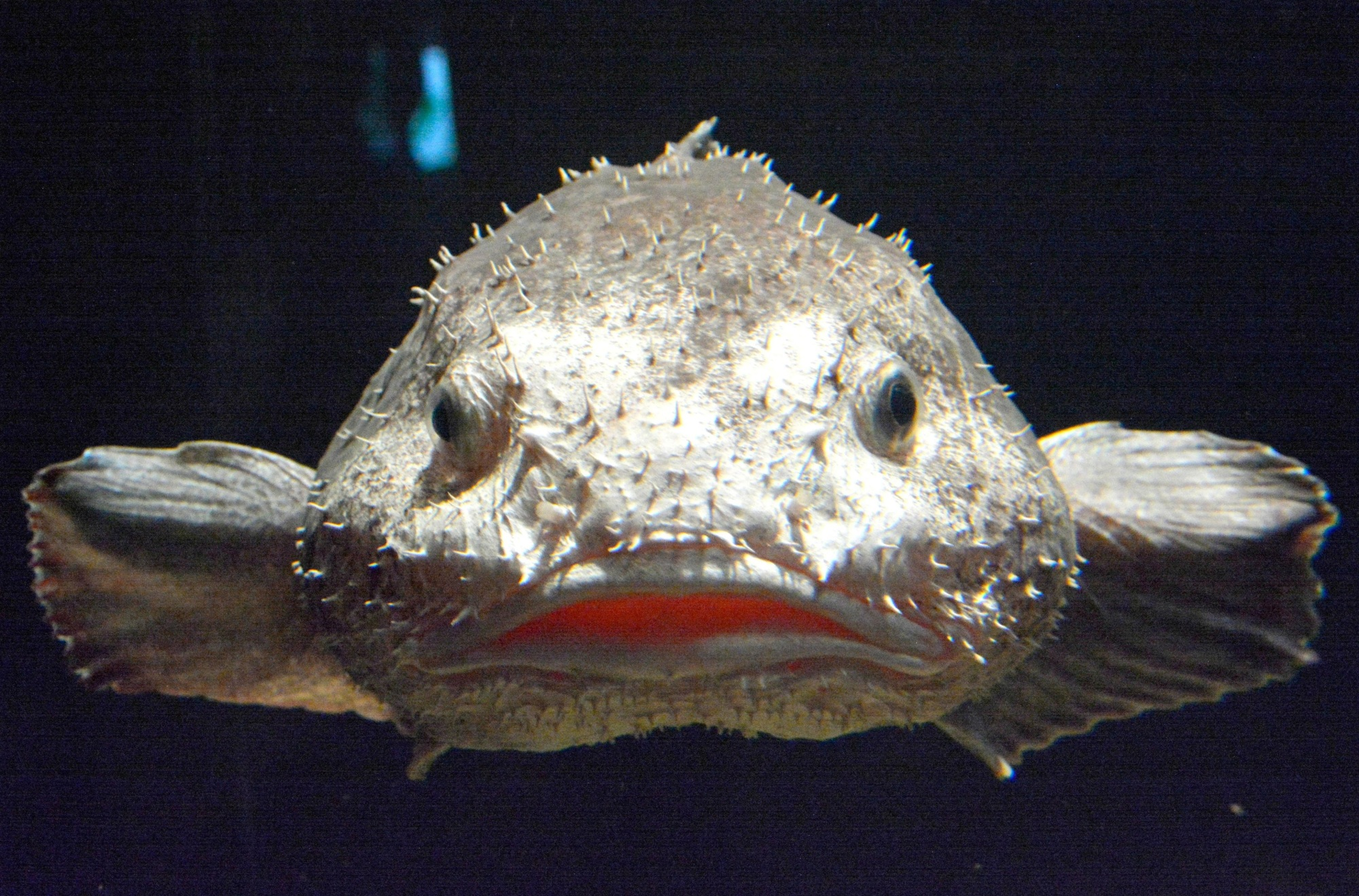 Rare blobfish deemed world 39 s ugliest creature goes on for Ugly fish blob