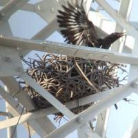 Chubu Electric uses artificial nests so crows don't build their own on power towers