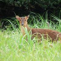 Invasive mini-deer breeding rapidly, destroying crops, as Chiba tries to keep up