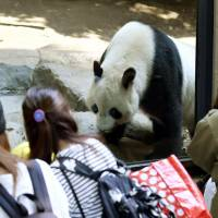 Visitors to Ueno zoo on Friday watch female giant panda Shin Shin, which officials at the facility said might be pregnant. | KYODO