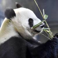 Shin Shin, a giant panda at the Ueno Zoological Gardens in Tokyo, has shown signs of pregnancy, the zoo said Tuesday. | KYODO