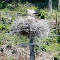 Protected white stork shot by mistake in Shimane