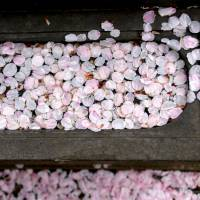 Pink and poignant: Fallen cherry petals float in a gravestone font in Aoyama Cemetary. | KIT NAGAMURA
