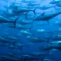 Bluefin tuna are often caught using seine nets, which traps both young and older fish of a whole shoal. | ISTOCK