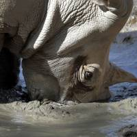 Loulou, a white rhinoceros, buries her horn in the mud to keep cool at the Phoenix Zoo Monday in Phoenix, Arizona. The forecast calls for a high of 118 on Monday and 120 on Tuesday in Phoenix. | AP