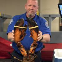 TSA finds 20 pound live lobster in Boston airport passenger's luggage