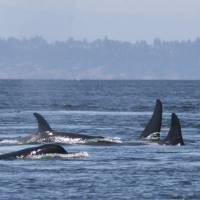 Orcas off Washington state having trouble breeding due to low salmon supply