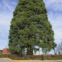 Idaho's century-old sequoia set to be transplanted to new home