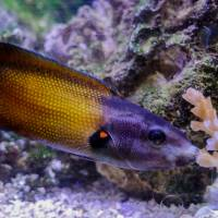 A tubelip wrasse feeds on coral. | REUTERS