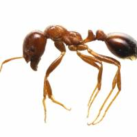 Third fire ant infestation confirmed at Nagoya port