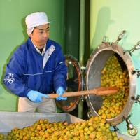 A worker rakes plums from a tank that produces plum wine in Kainan, Wakayama Prefecture, in November. | KYODO