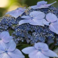 The pedagogy of petals: Hydrangeas in Ikedayama Park teach appreciation for the rainy season. | KIT NAGAMURA