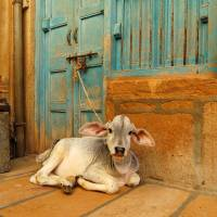 In India, the Bharatiya Janata Party banned the selling of cows, seen as sacred, for slaughter in 18 states in India, yet some critics, including historian Dwijendra Narayan Jha, claim that Hindus have in the past eaten beef.   ISTOCK