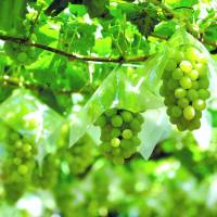 Let's discuss Yamanashi wineries