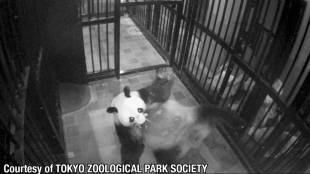 [VIDEO] Giant panda at Tokyo's Ueno Zoo gives birth to a cub