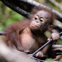 An orphan orangutan baby plays at a 'jungle school' at the International Animal Rescue center outside the city of Ketapang in West Kalimantan, Indonesia, on Aug. 4, 2016. | AFP-JIJI