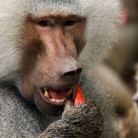 'Curious' baboon knocks out power in Zambian tourist town