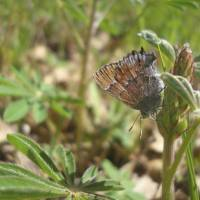Rare butterfly thrives on military bases across U.S.