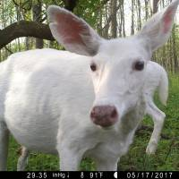 Fall bus tours to offer glimpse of rare NY white deer herd at former U.S. Army ammo dump