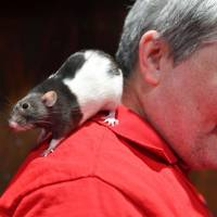 Charlotte the rat stands on the shoulders of a man at a popup 'rat cafe' in San Francisco on Saturday. | AFP-JIJI