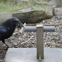 Something to crow about: Study finds ravens can plan ahead, barter