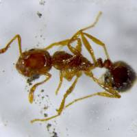 More fire ants found in Kyushu, including first discovery in Oita Prefecture