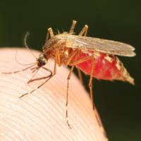 Human blood from mosquitoes could identify criminals, Nagoya University team says