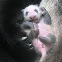 Panda cub at Ueno Zoo to be named by the public