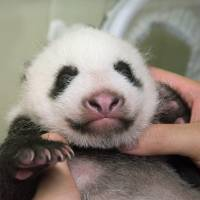 Ueno Zoo's panda cub developing well, can now crawl on its own