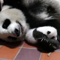 Tokyo government calls on the public to name Ueno Zoo's new panda cub