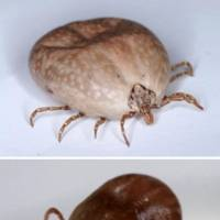 Two kinds of ticks, amblyomma testudinarium and  haemaphysalis longicornis (bottom), that carry the SFTS virus are shown. NATIONAL INSTITUTE OF INFECTIOUS DISEASES / VIA KYODO