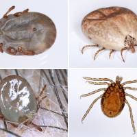 Four different kinds of ticks known to exist in Japan are seen. | NATIONAL INSTITUTE OF INFECTIOUS DISEASES / VIA KYODO