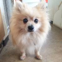 Up, up and away: a Pomeranian named Balloon