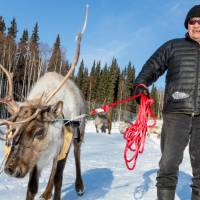 Reindeer are far tougher to train and tame than dogs. | CHRISTINA SJÖGREN