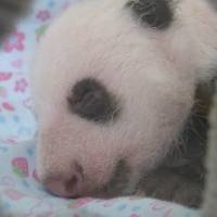 [VIDEO] Ueno Zoo's panda cub turns one month old