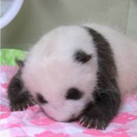 [VIDEO] Panda cub on Ueno Zoo opened her eyes