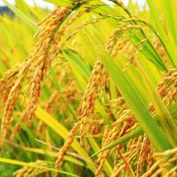 Japan's food self-sufficiency rate drops further mainly due to falling rice consumption. | ISTOCK