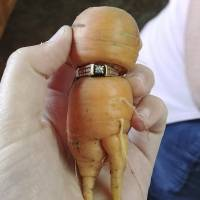 Lost engagement ring found 13 years later on garden carrot