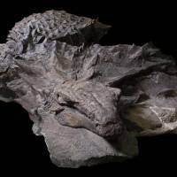 Well-preserved armored dinosaur unearthed in Canada gets name: Borealopelta markmitchelli