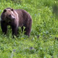 Yellowstone-area grizzlies now off threatened species list but wildlife advocates threaten to sue
