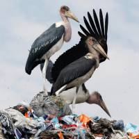 Marabou storks stand on a pile of recyclable plastic materials Friday at the Dandora dumping site on the outskirts of Nairobi.   REUTERS