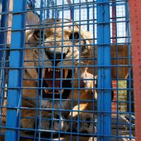 Lion rescued from war-hit Aleppo zoo gives birth in Jordan reserve after three-week caged journey