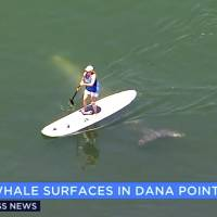 Baby gray whale gets up close, personal with Southern California beach crowd