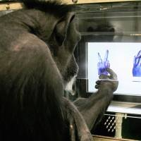 Chimpanzees trained to master rock, paper, scissors by Kyoto University researchers