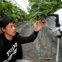 Hiroki Iwasa, a 40 year-old IT entrepreneur with an MBA, checks strawberries at his high-tech greenhouse in Yamamoto, Miyagi Prefecture, in June. | REUTERS