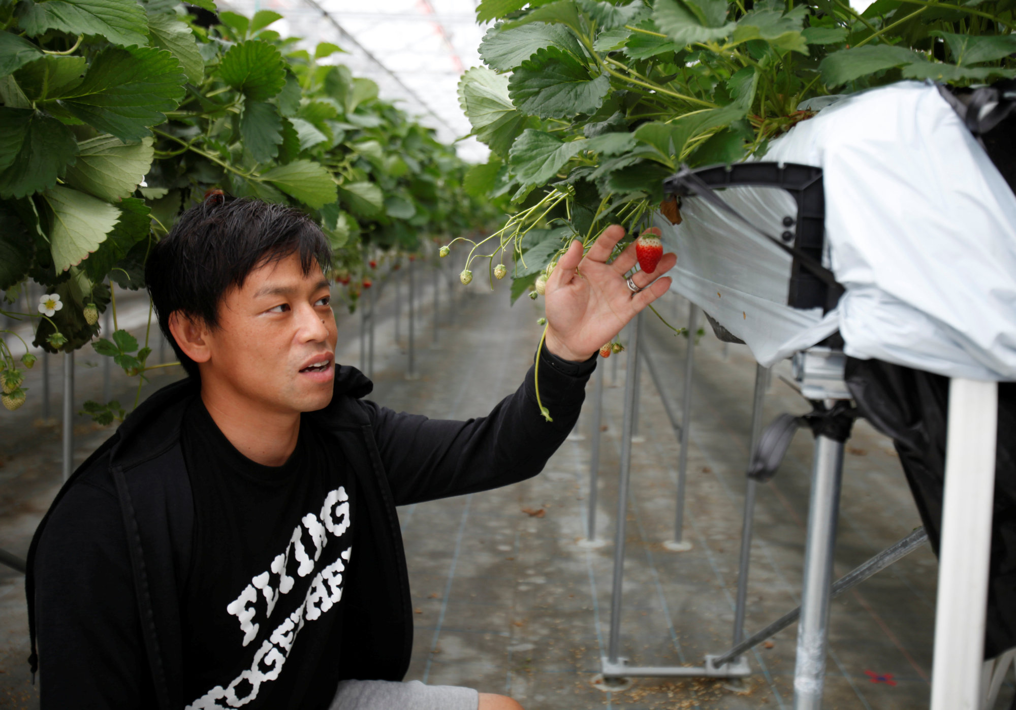 Hiroki Iwasa, a 40 year-old IT entrepreneur with an MBA, checks strawberries at his high-tech greenhouse in Yamamoto, Miyagi Prefecture, in June.   REUTERS