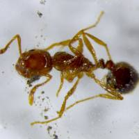 Japan working hard to douse fire ant invasion