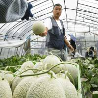 Farmers harvest Yubari melons in Yubari, Hokkaido, in May 2016. Yubari melons are registered on the government's geographical indication list. | KYODO