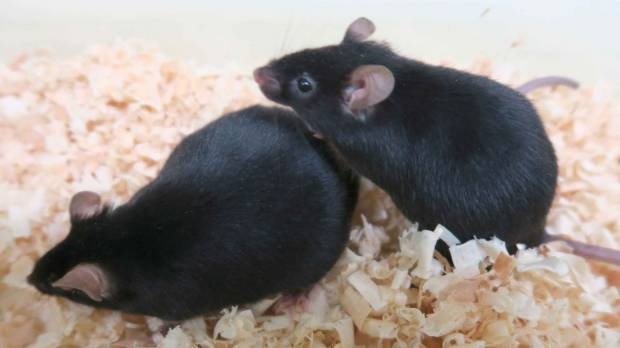 Fertile offspring produced from sterile mice using iPS cells
